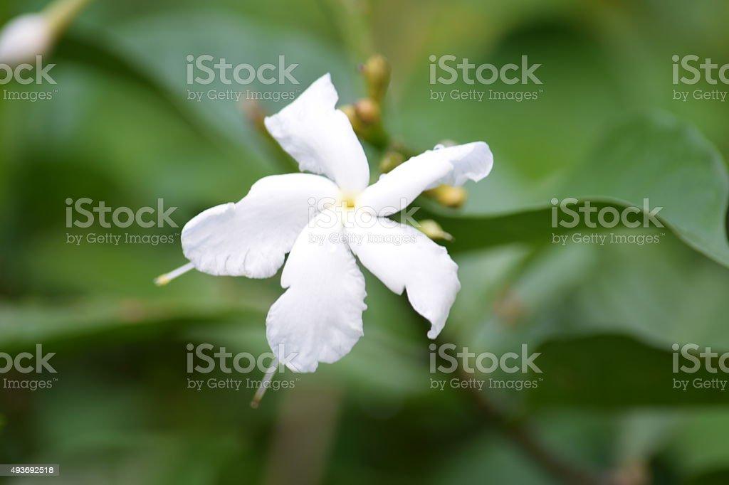 White flower five petals stock photo more pictures of 2015 istock white flower five petals royalty free stock photo mightylinksfo