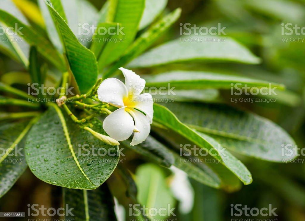 White flower frangipani tropical plant with long green leaves white flower frangipani plumeria tropical plant with long green leaves covered by raindrops mightylinksfo