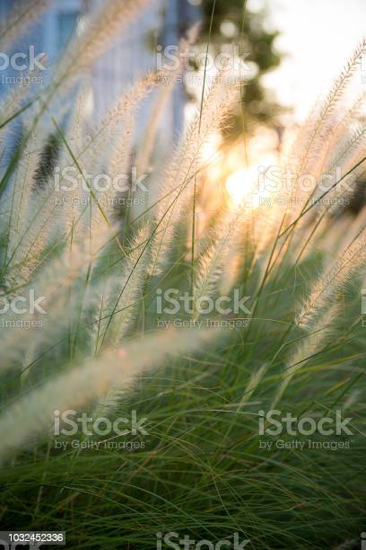White flower grass field with silhouette sunlight in the evening for picture id1032452336?b=1&k=6&m=1032452336&s=612x612&h=p5zs du8bjyg3isdkdie10dekbk1g3pcnc m ukjzy4=