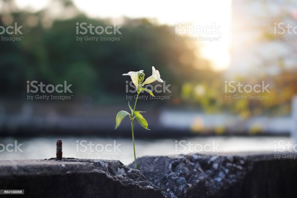 white flower growing on crack concrete barrier along the river stock photo