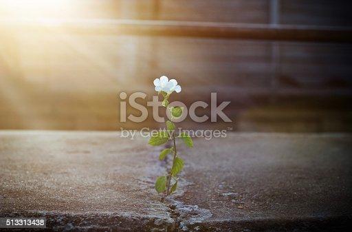 istock white flower growing on crack street in sunbeam, soft focus 513313438