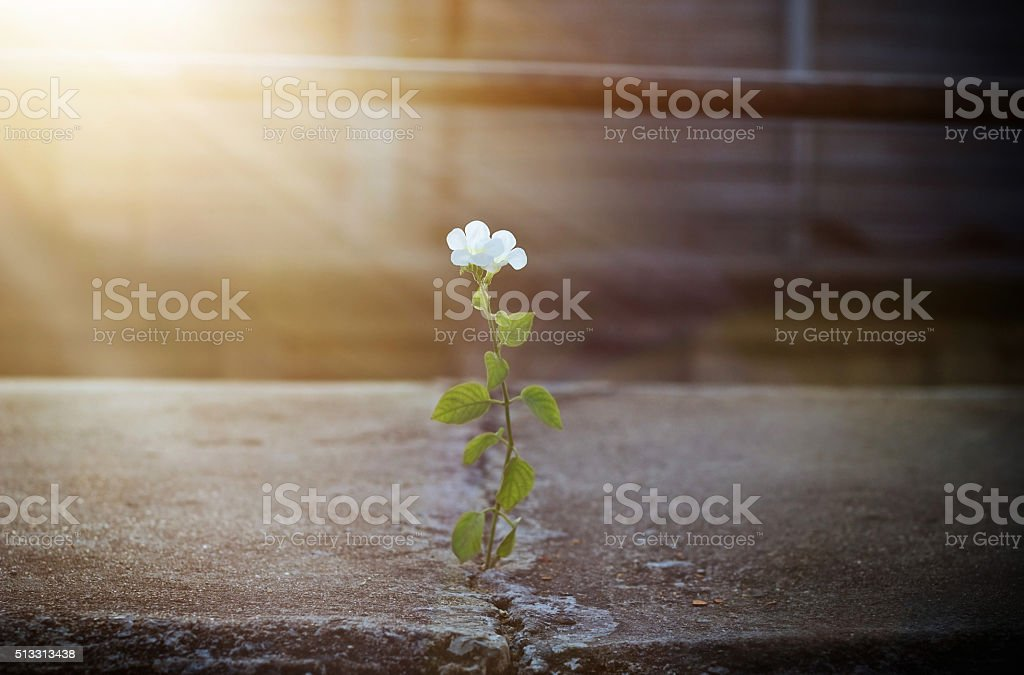 white flower growing on crack street in sunbeam, soft focus stock photo