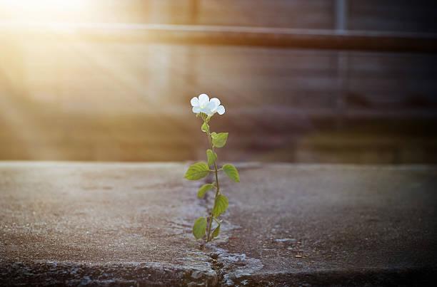 weiße blume wächst auf zu knacken straße in sonnenstrahl, weichzeichner - lebensblume stock-fotos und bilder