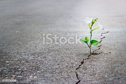 istock white flower growing on crack street, soft focus, blank text 475224358