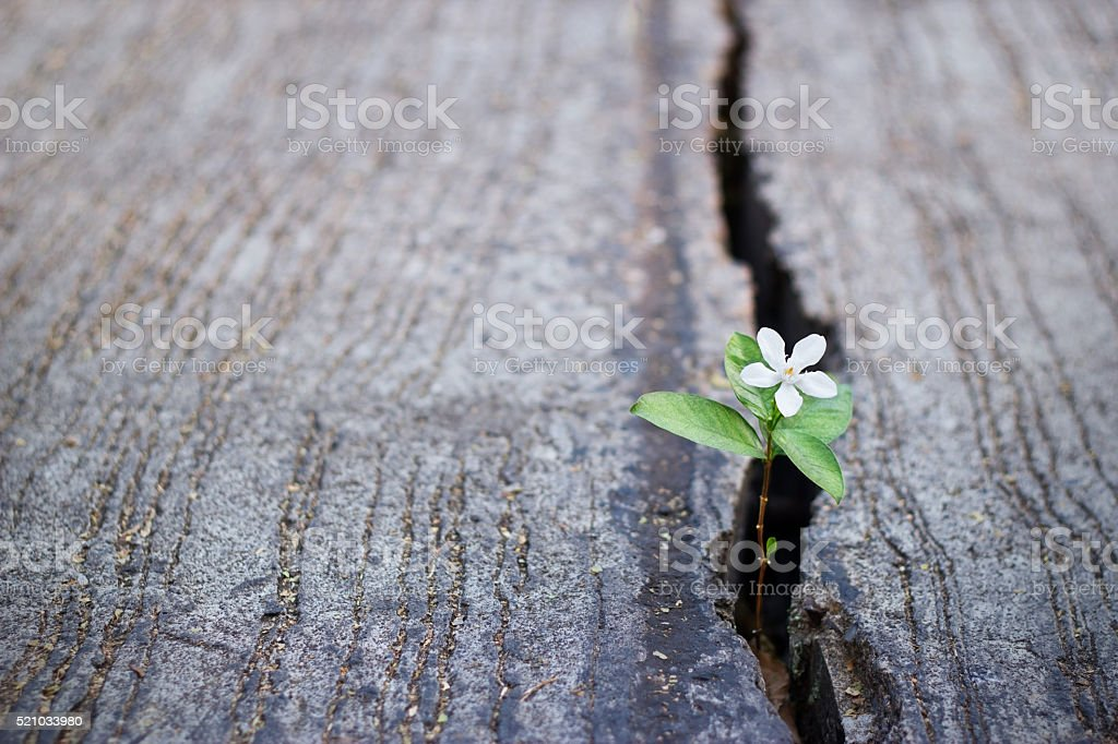 white flower growing on crack street, soft focus royalty-free stock photo