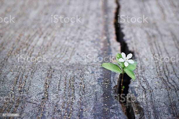 White flower growing on crack street soft focus picture id521033980?b=1&k=6&m=521033980&s=612x612&h=d0 21gzsvbhj7 drpb8andlnfyo2eyv7smchshfwzsc=