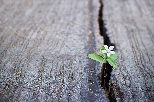 biały kwiat się na pękanie ulicy, miękkie ustawianie ostrości - nadzieja zdjęcia i obrazy z banku zdjęć