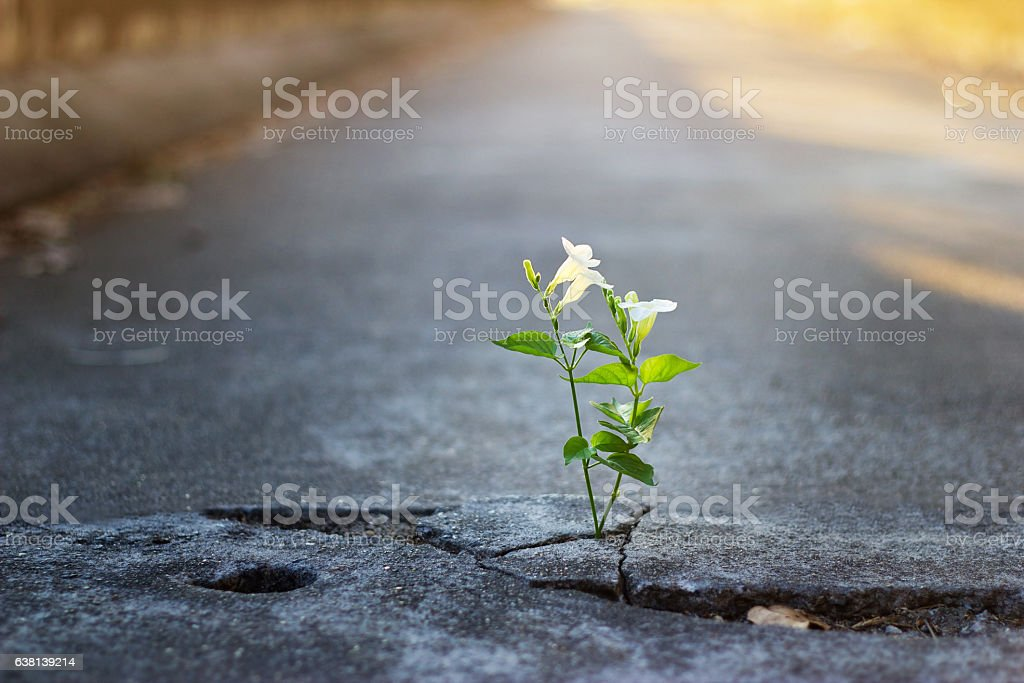 white flower growing on crack street, soft focus stock photo