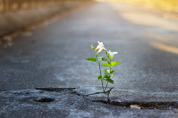 white flower growing on crack street, soft focus - possible stock photos and pictures