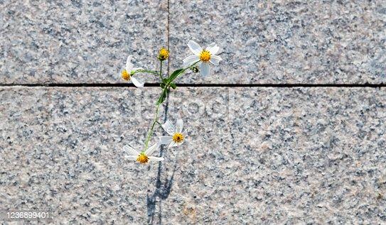 White flower growing on stone floor.