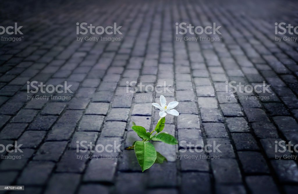 white flower growing on street floor old brick at night stock photo