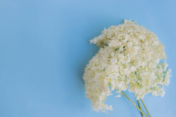 White flower hydrangea on a blue background stock photo