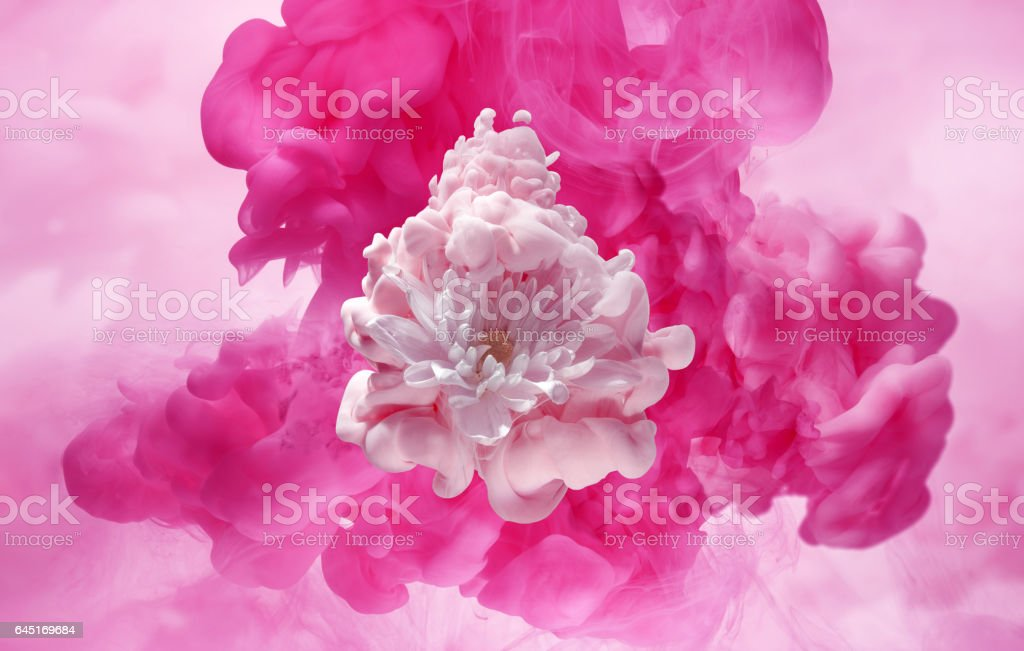 white flower in a cloud of pink ink stock photo