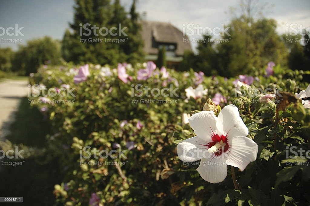 White flower in fron of traditional hungarian building stock photo