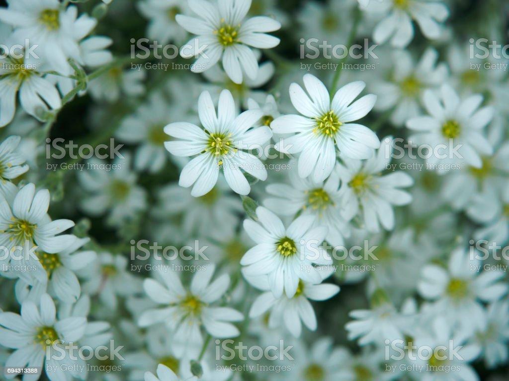 Fotografia De Blanca Flor En El Jardin Campo De Pequenas Flores