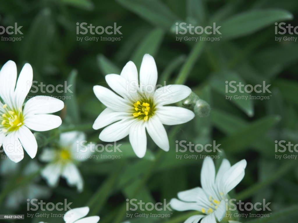 Fotografia De Blanca Flor En El Jardin Pequenas Flores Blancas Con