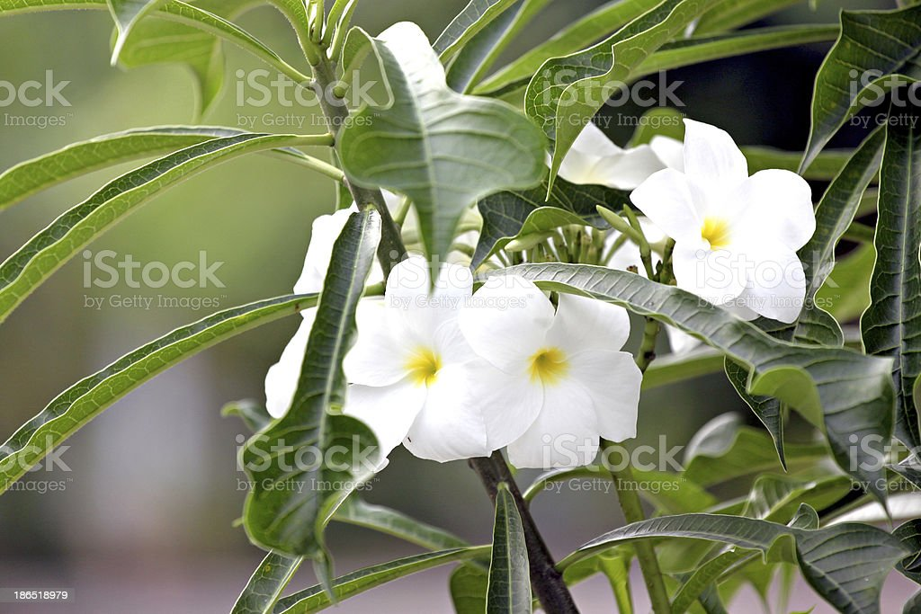 White flower in the garden. royalty-free stock photo