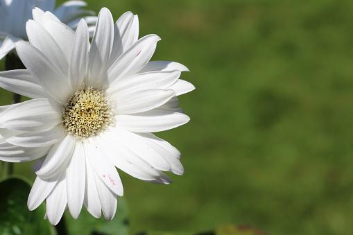 White flower in summertime, taken under natural sunlight. Taken in South Derbyshire in the UK. Photo was taken in June time.