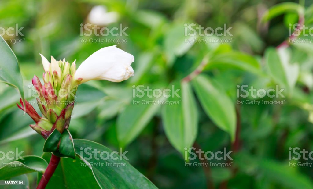 White Flower Is Beautifully Blooming Surrounded by Green Leaves stock photo