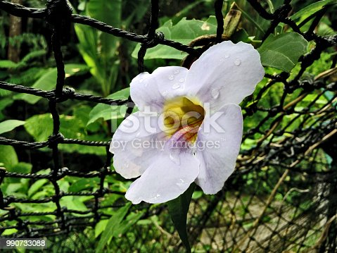 istock White flower isolated are beside the wire mesh fence. 990733088