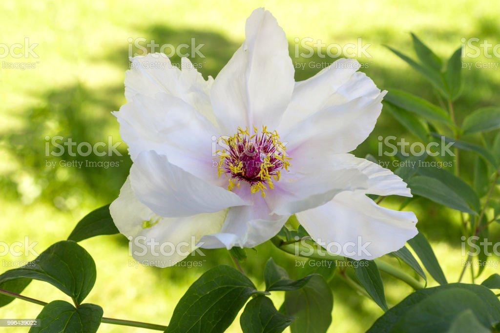 White flower Japanese Tree Peony stock photo