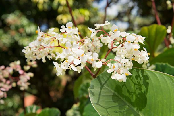 white flower leaves costa rica stock photo