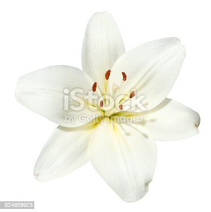 white flower Lilium candidum isolated on white background