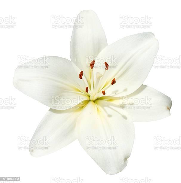 White flower lilium candidum isolated picture id524859923?b=1&k=6&m=524859923&s=612x612&h=maasl8fmhuuyyc0tlehf7m8dx12ey3lhxzeuckaacu4=