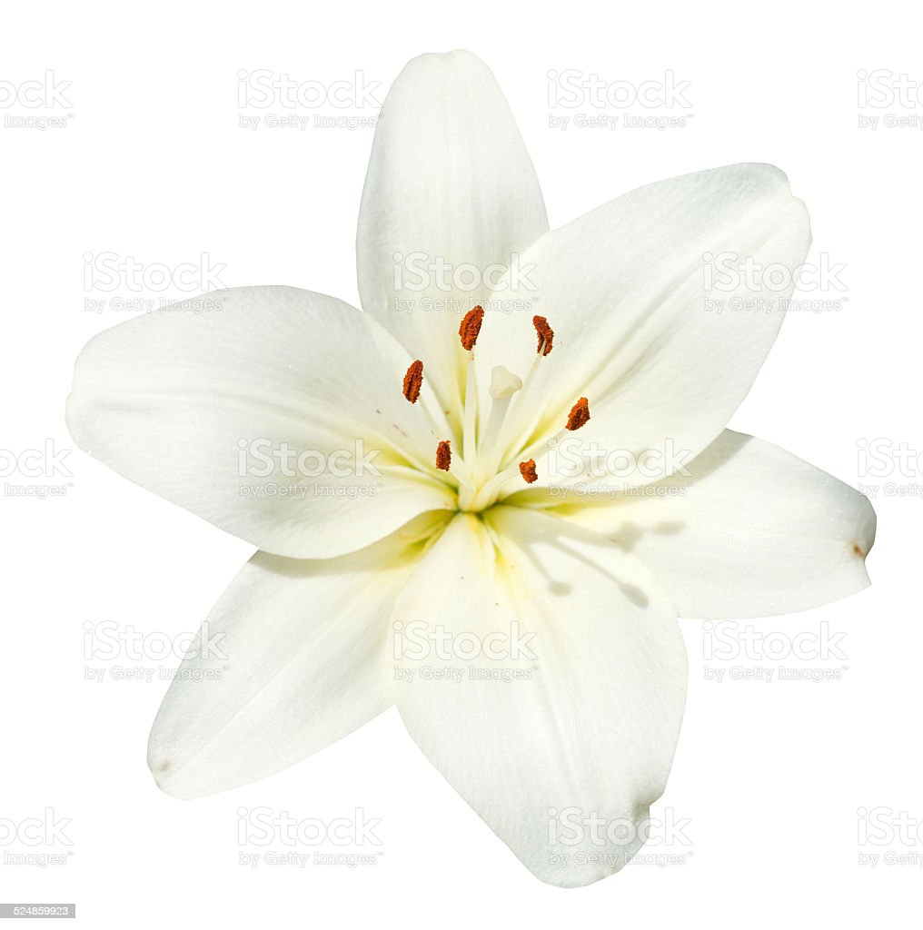 white flower Lilium candidum isolated stock photo