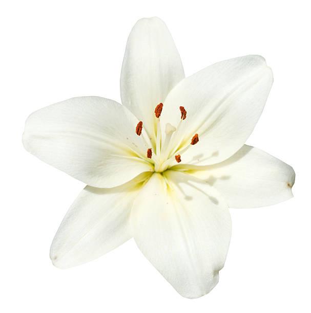 white flower lilium candidum isolated - carpel bildbanksfoton och bilder