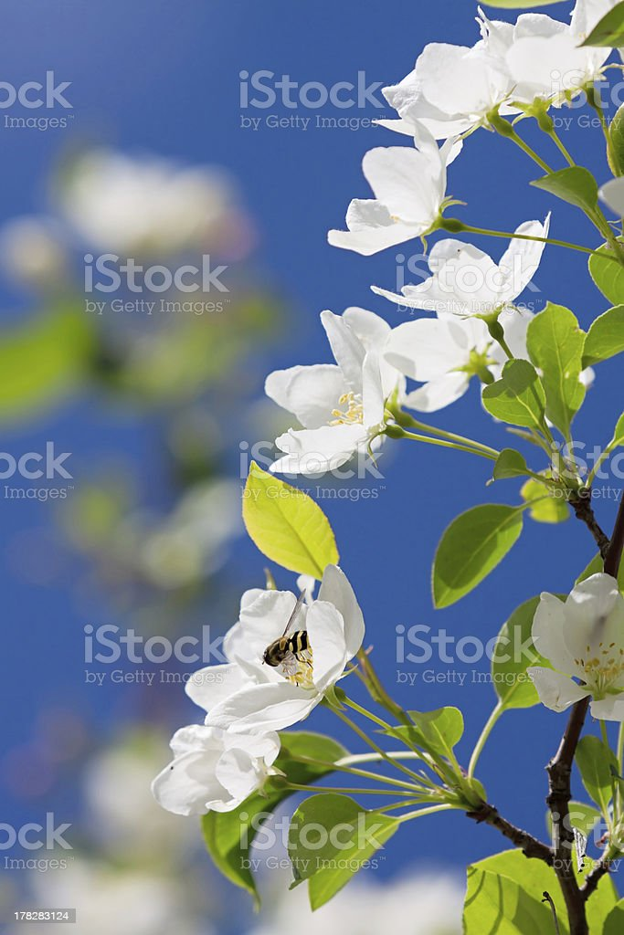White flower of apple royalty-free stock photo