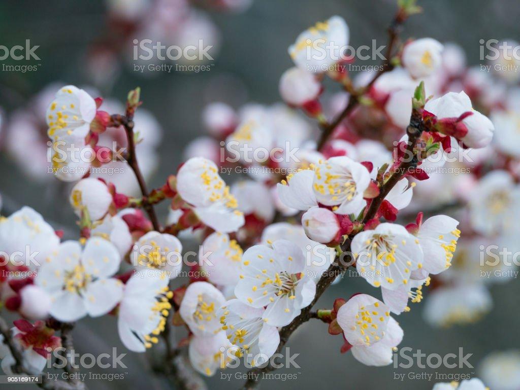 Blanche fleur d'abricotier, avec vue sur fond gris flou horizontal macro - Photo