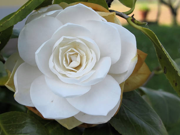 White flower of camellia in spring picture id477236490?b=1&k=6&m=477236490&s=612x612&w=0&h=e duraxuh0yxrc1mop jf dcms2qektugythxrc4rhm=