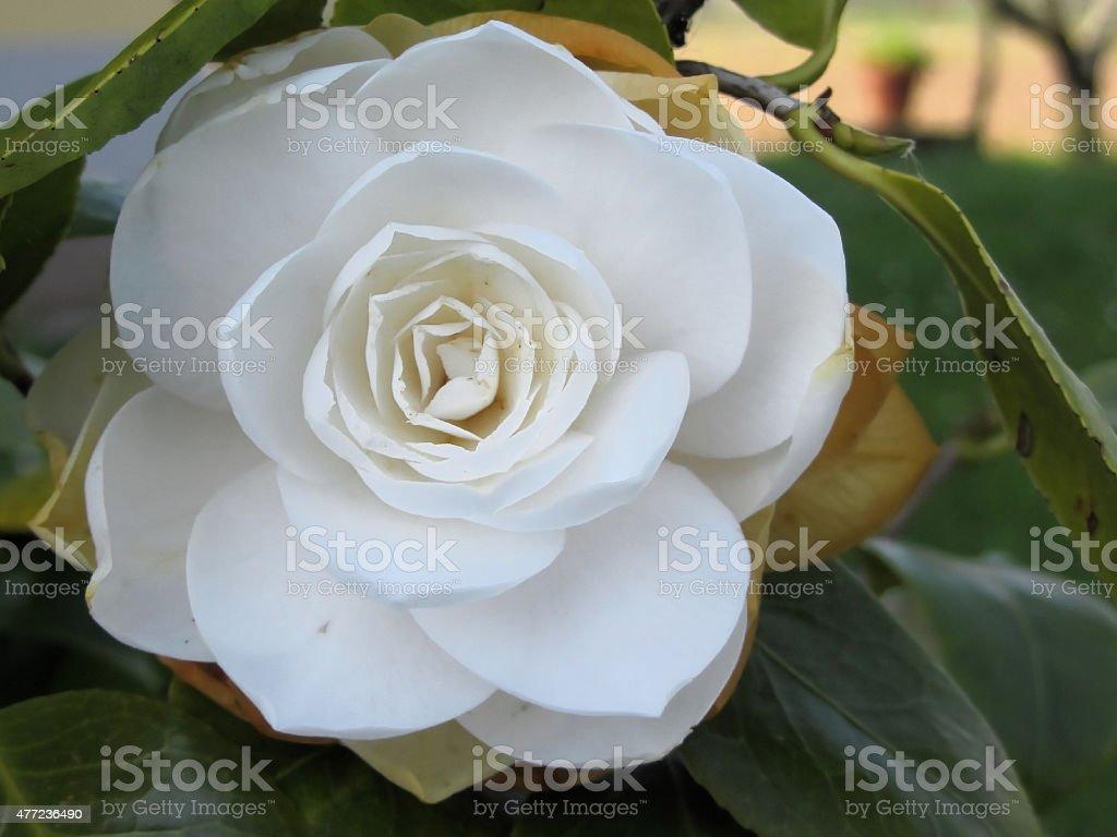 White flower of Camellia in spring stock photo