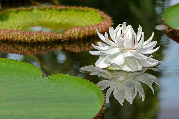 White flower of Giant Waterlily (Victoria amazonica) blossoming in pond stock photo