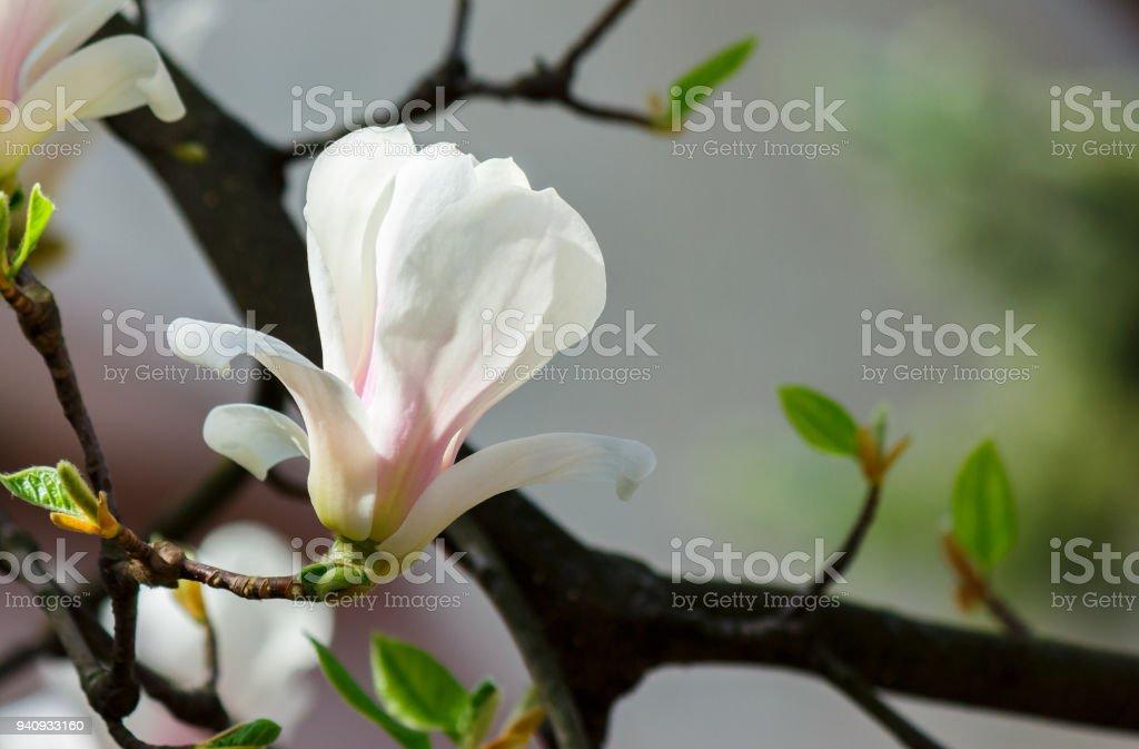White flower of magnolia tree blossom close up stock photo more white flower of magnolia tree blossom close up royalty free stock photo mightylinksfo