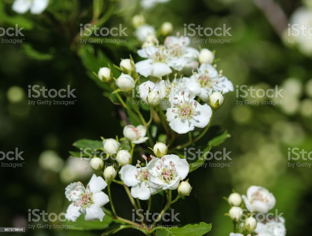 White Flower Of Midland Hawthorn English Hawthorn Blooming In Spring