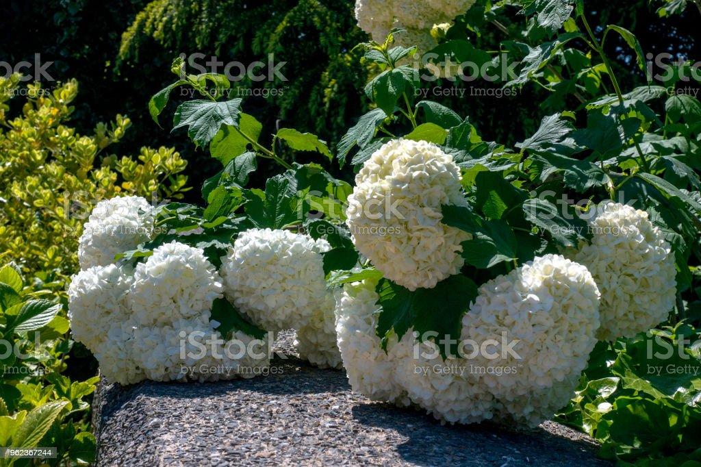 White flower of the snowball viburnum buldenezh in bloom stock photo white flower of the snowball viburnum buldenezh in bloom royalty free stock photo mightylinksfo