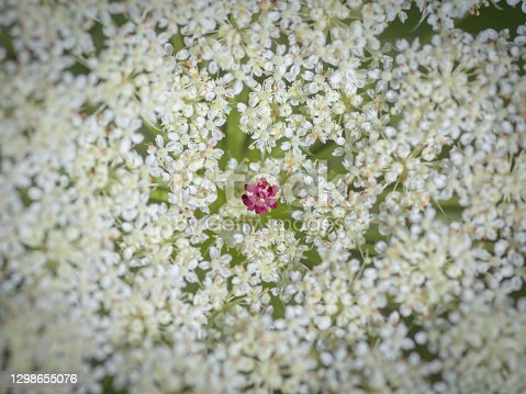 Closeup of beautiful  white flower of wild carrot (Daucus carota, Queen Anne's lace) with one small red flower in the center