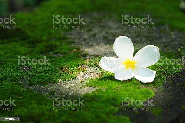 White flower on moss background picture id186458245?b=1&k=6&m=186458245&s=612x612&h=mvtdlg1xj1 bkdgvcwi0nn6trk6rm8cggwyjsrjvxp0=