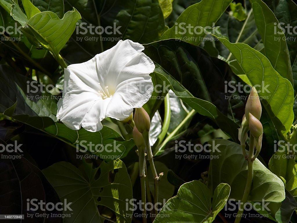 White flower on vine stock photo