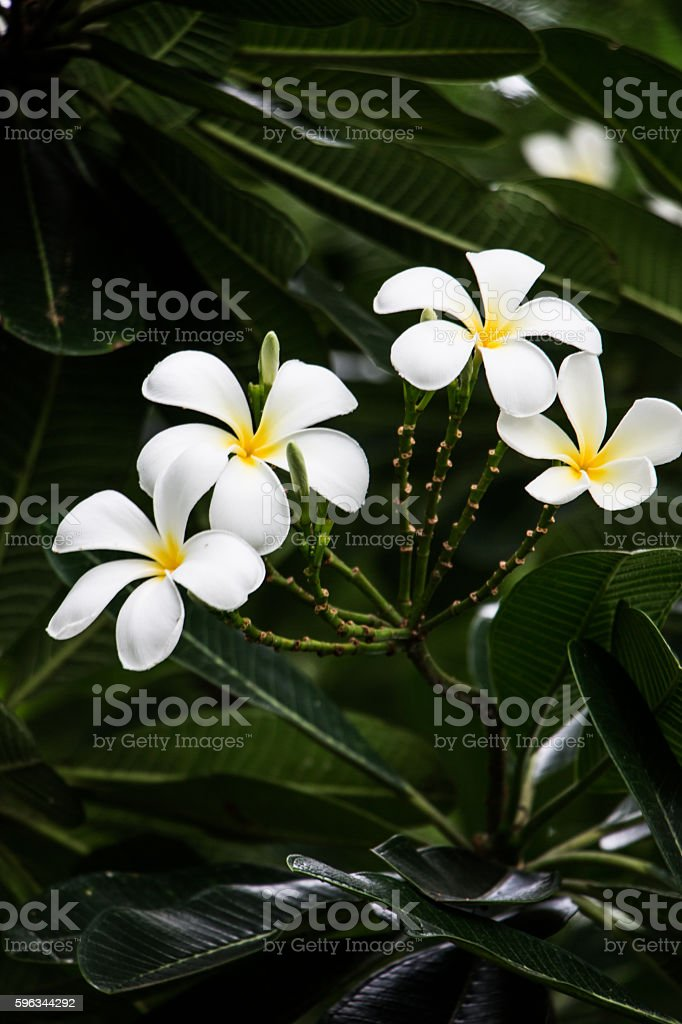 White flower royalty-free stock photo