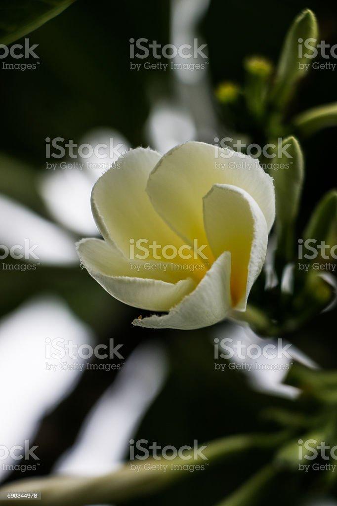 Weiße Blume  Lizenzfreies stock-foto