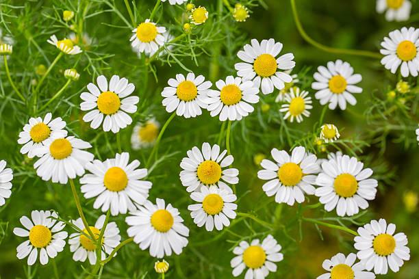 flor blanca  - planta de manzanilla fotografías e imágenes de stock