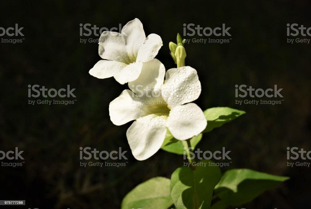 Weiße Blume - Lizenzfrei Ast - Pflanzenbestandteil Stock-Foto