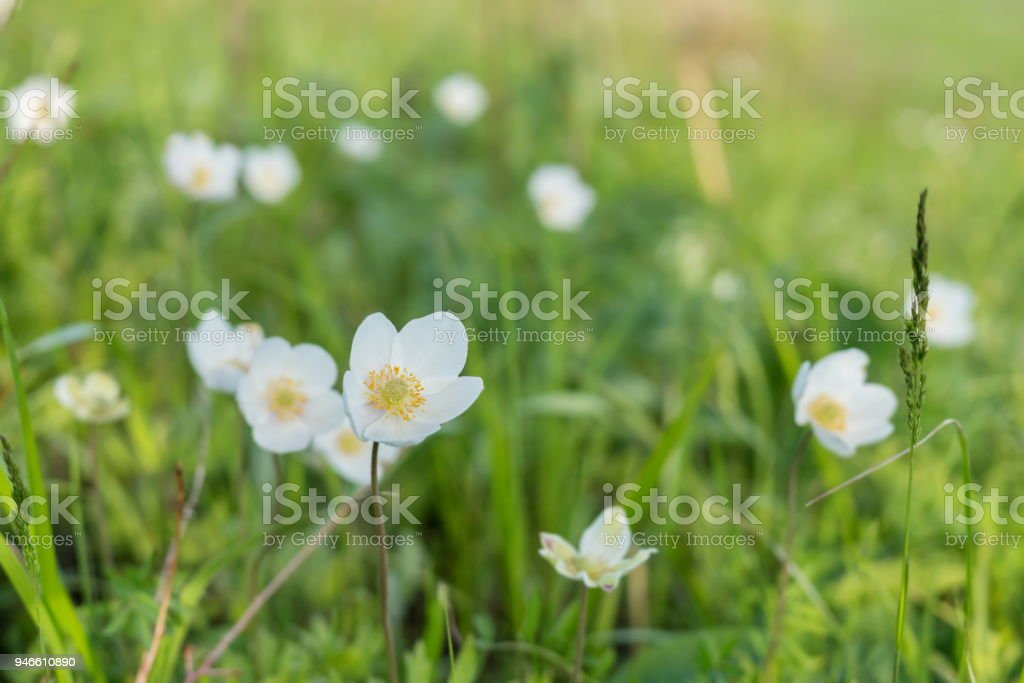 White flower ranunculus (lat. Anemone) blooms in early spring on a green meadow. stock photo