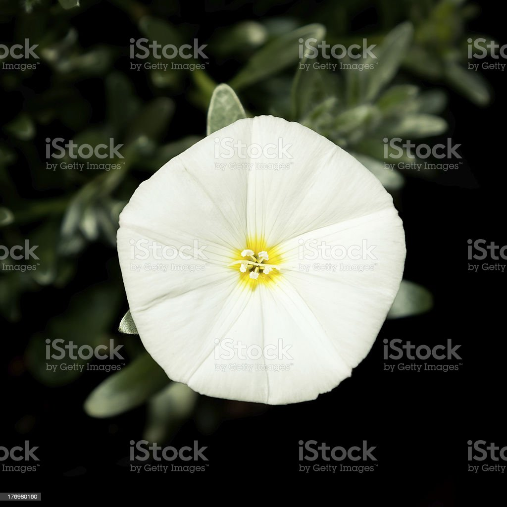 White Flower - Silverbush stock photo