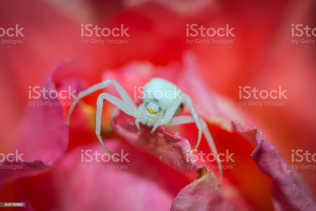 White flower spider resting on a rose stock photo more pictures of white flower spider resting on a rose royalty free stock photo mightylinksfo