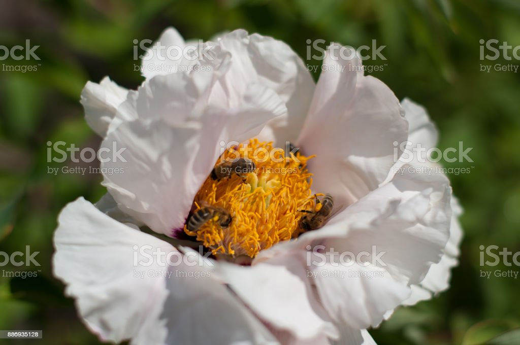 White flower with bees inside gathering pollen stock photo