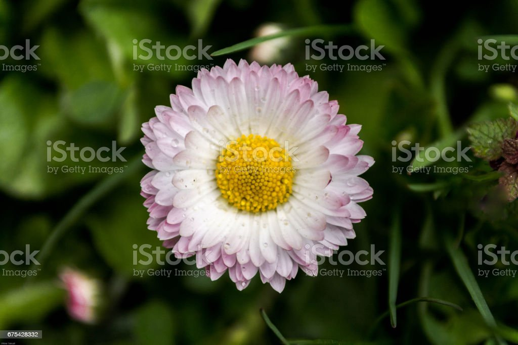White flower with burgundy petals. stock photo